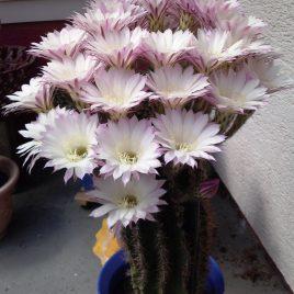 Echinopsis Kakteen ca. 40 Jahre alt